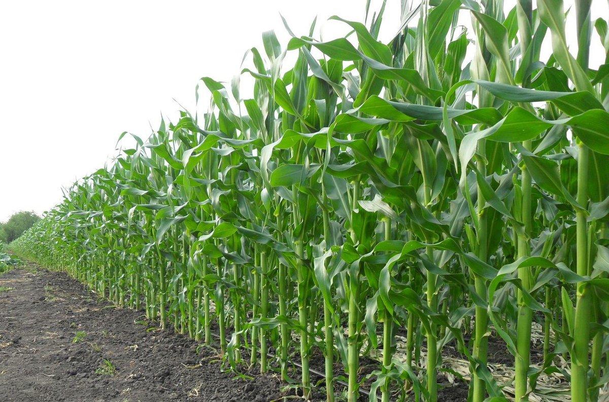 Правильная технология возделывания кукурузы на силос