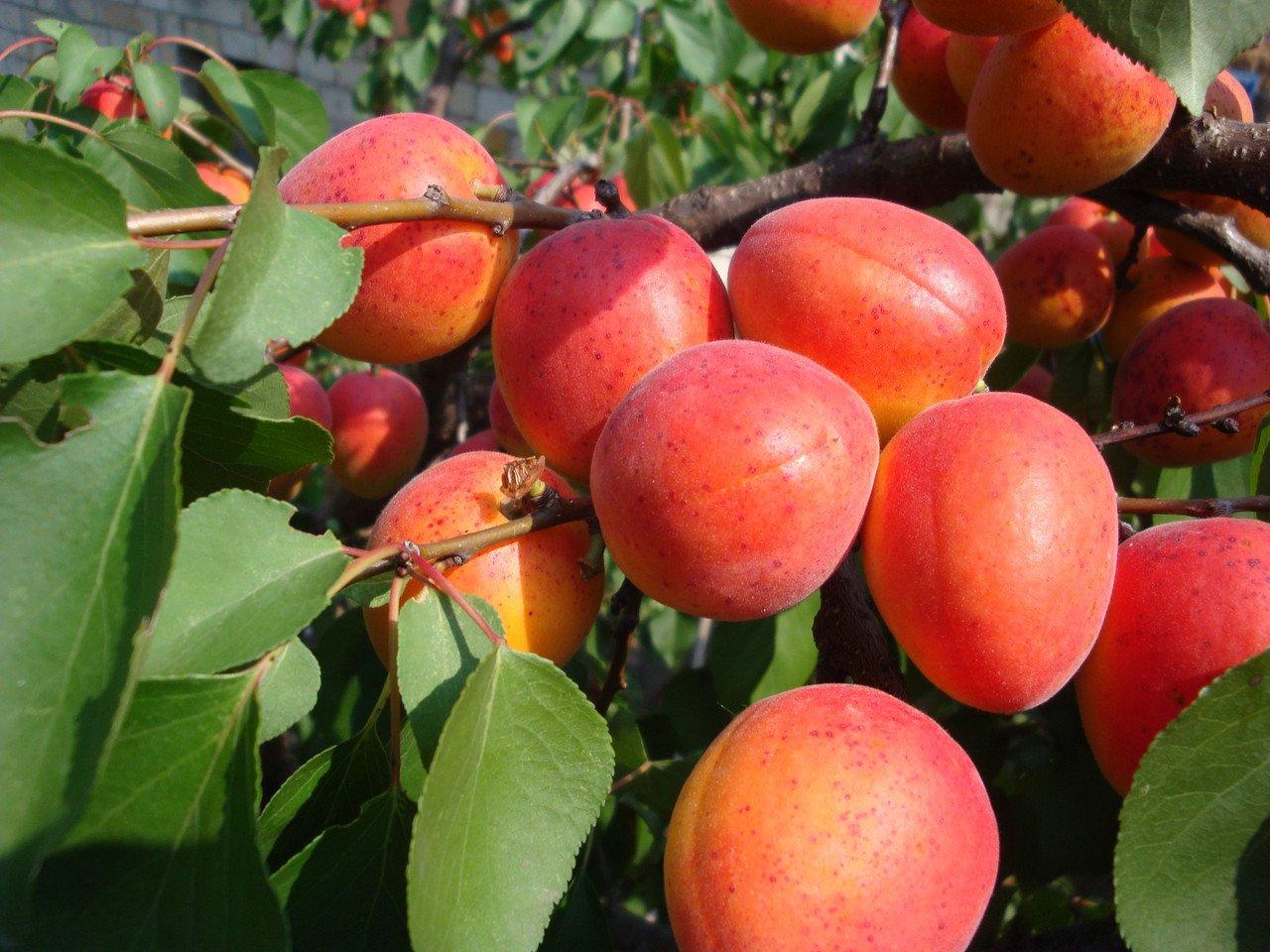 Сорта абрикоса для ленинградской области: описание, посадка и уход с фото