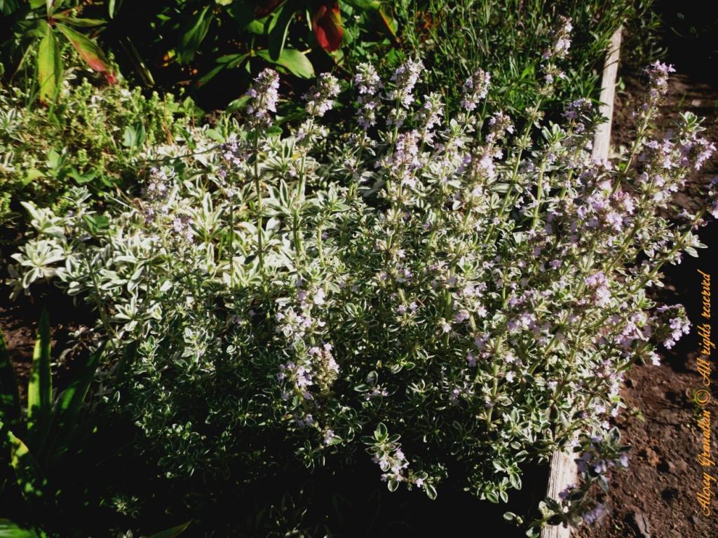 Чабрец – лечебные свойства и противопоказания травы