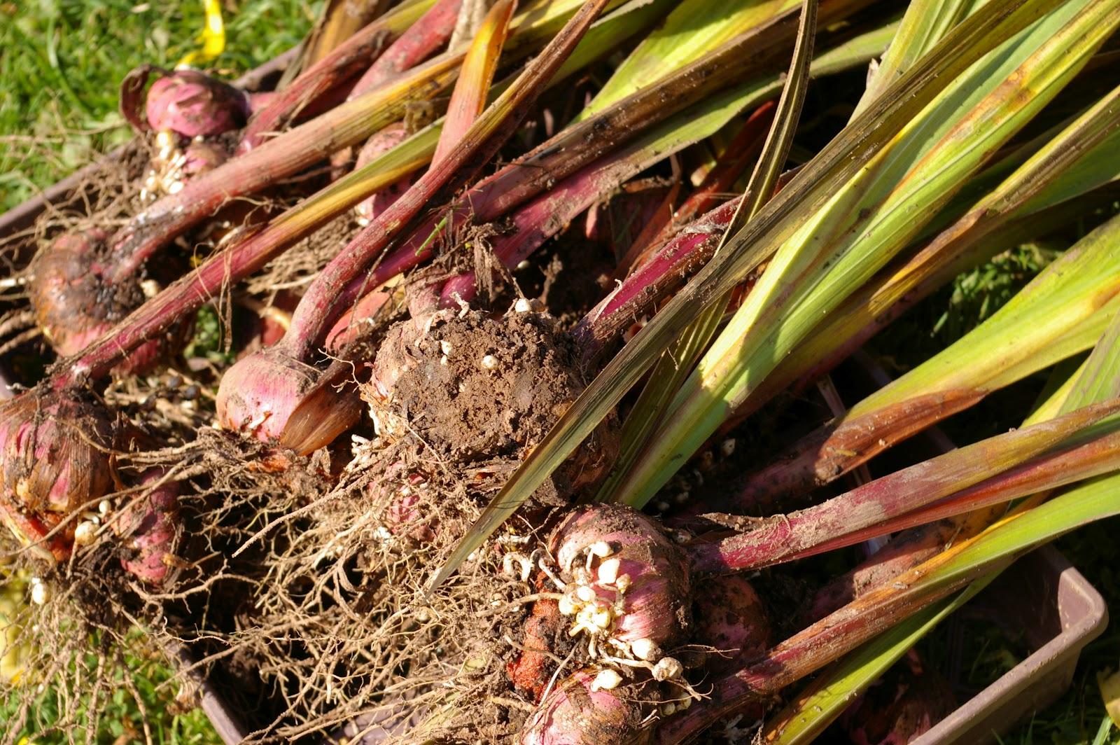 Когда выкапывать гладиолусы осенью и как хранить: благоприятные дни 2021 года и сроки выкапывания в регионах