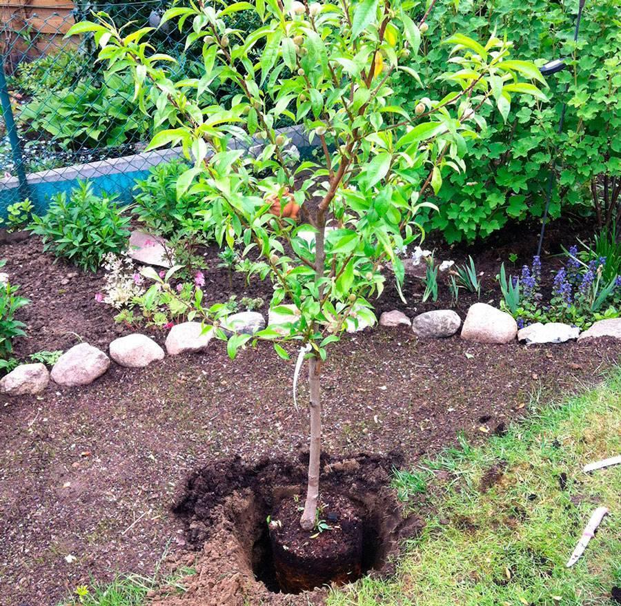 Как правильно посадить сливу весной саженцами в открытый грунт: пошаговая инструкция