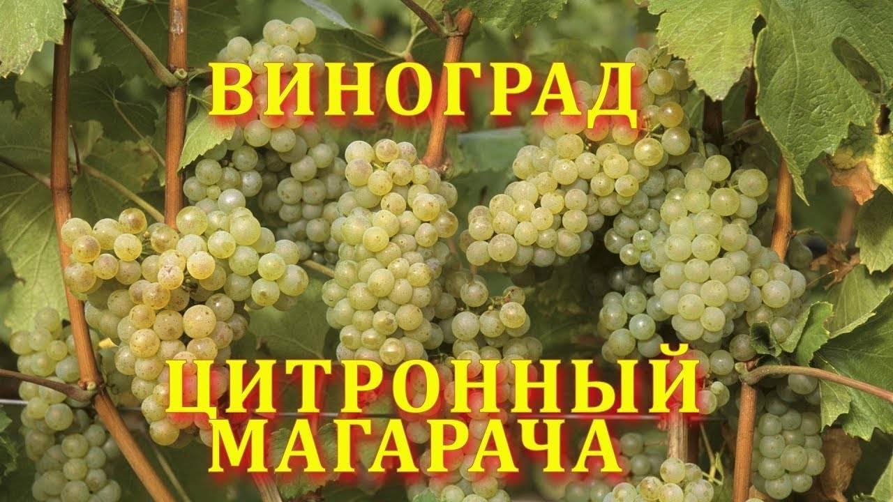 Виноград памяти учителя: перспективный красноплодный сорт, урожайностью 10 кг с куста