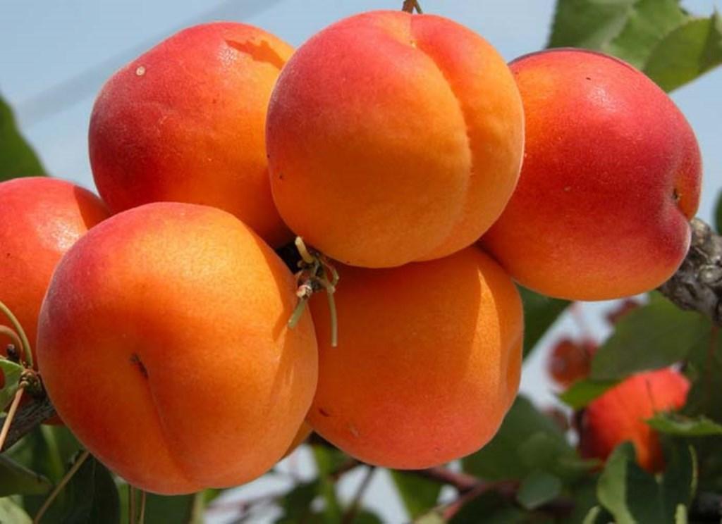 Лучшие сорта абрикоса устойчивые к монилиозу