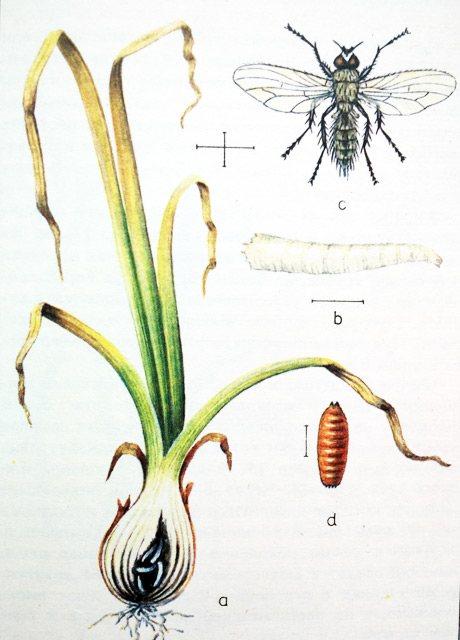 Луковая муха: как от нее избавиться, чем обработать лук после посадки, полив солью, нашатырным спиртом и другие народные средства