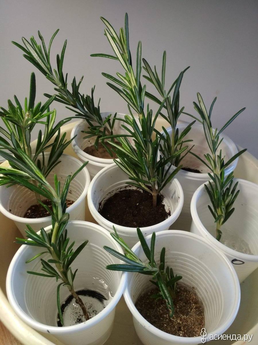 Посадка и выращивание розмарина из семени дома: как подготовить, поливать