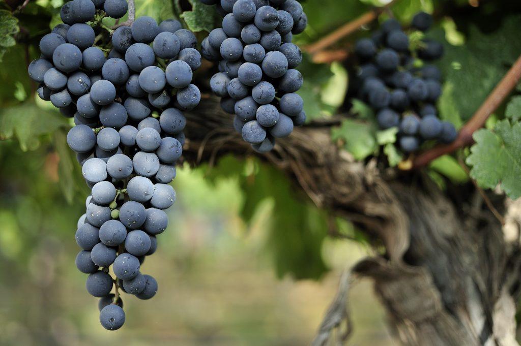 Виноград «мерло» описание особенностей сорта с отзывами и фото урожая