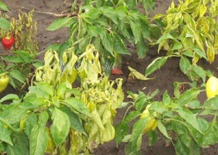 У перца скручиваются листья: причины, методы борьбы и рекомендации