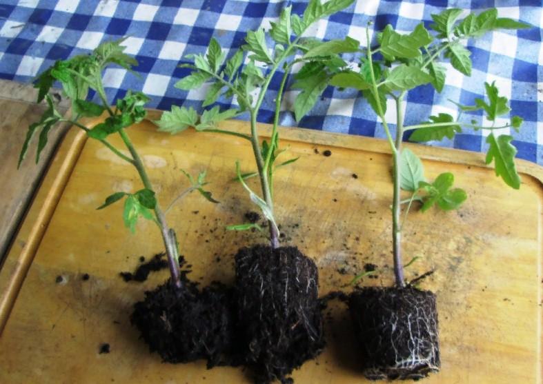 Рассада помидор без пикировки: как посадить, как вырастить