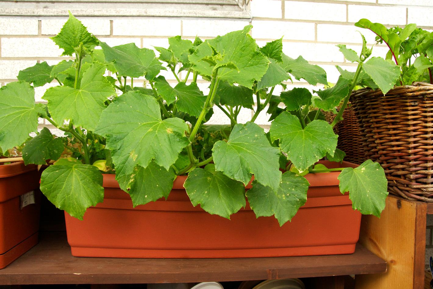 Какие овощи на балконе можно выращивать: виды и сорта