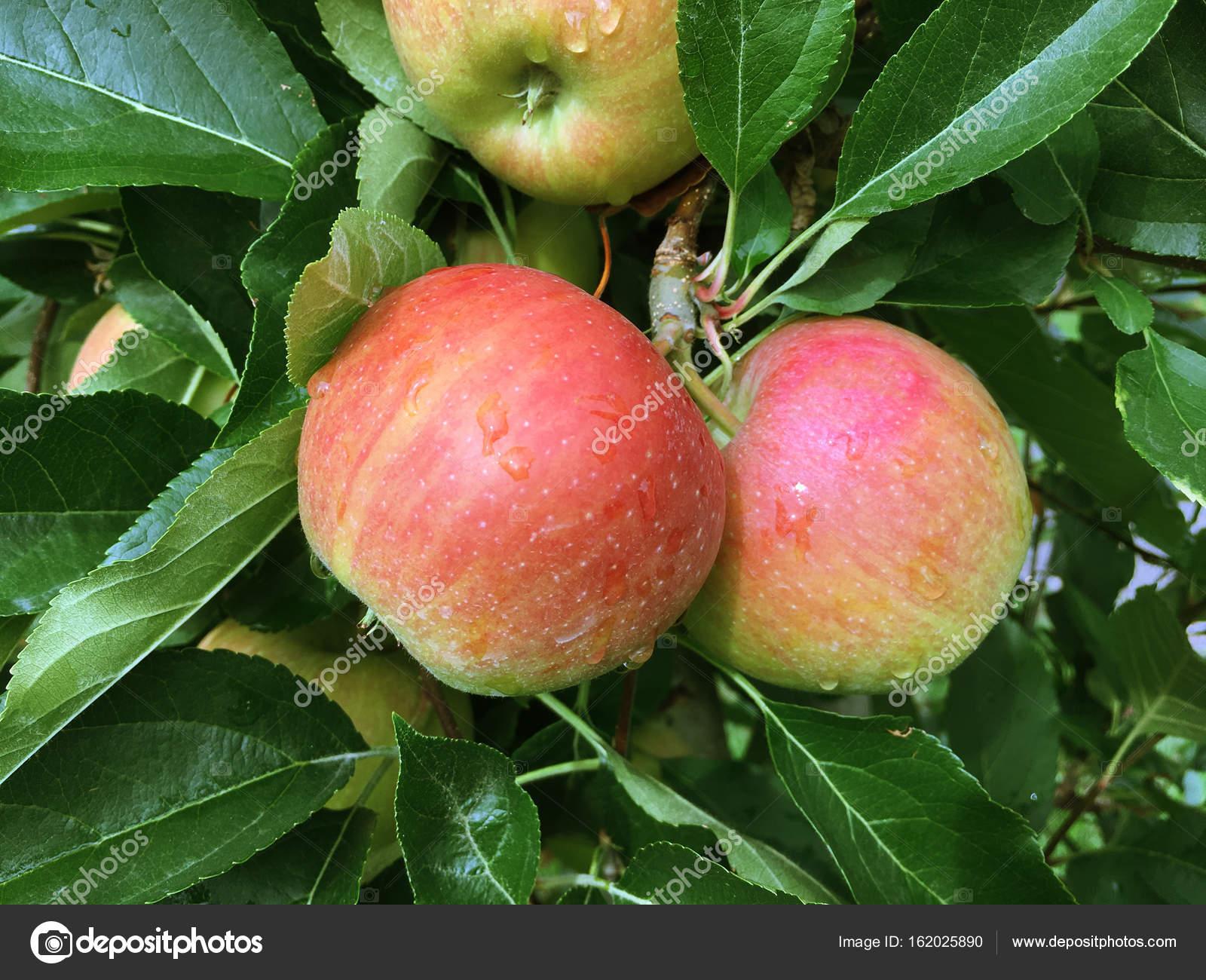 Яблоня фуджи: формирование кроны, описание сорта, посадка и уход