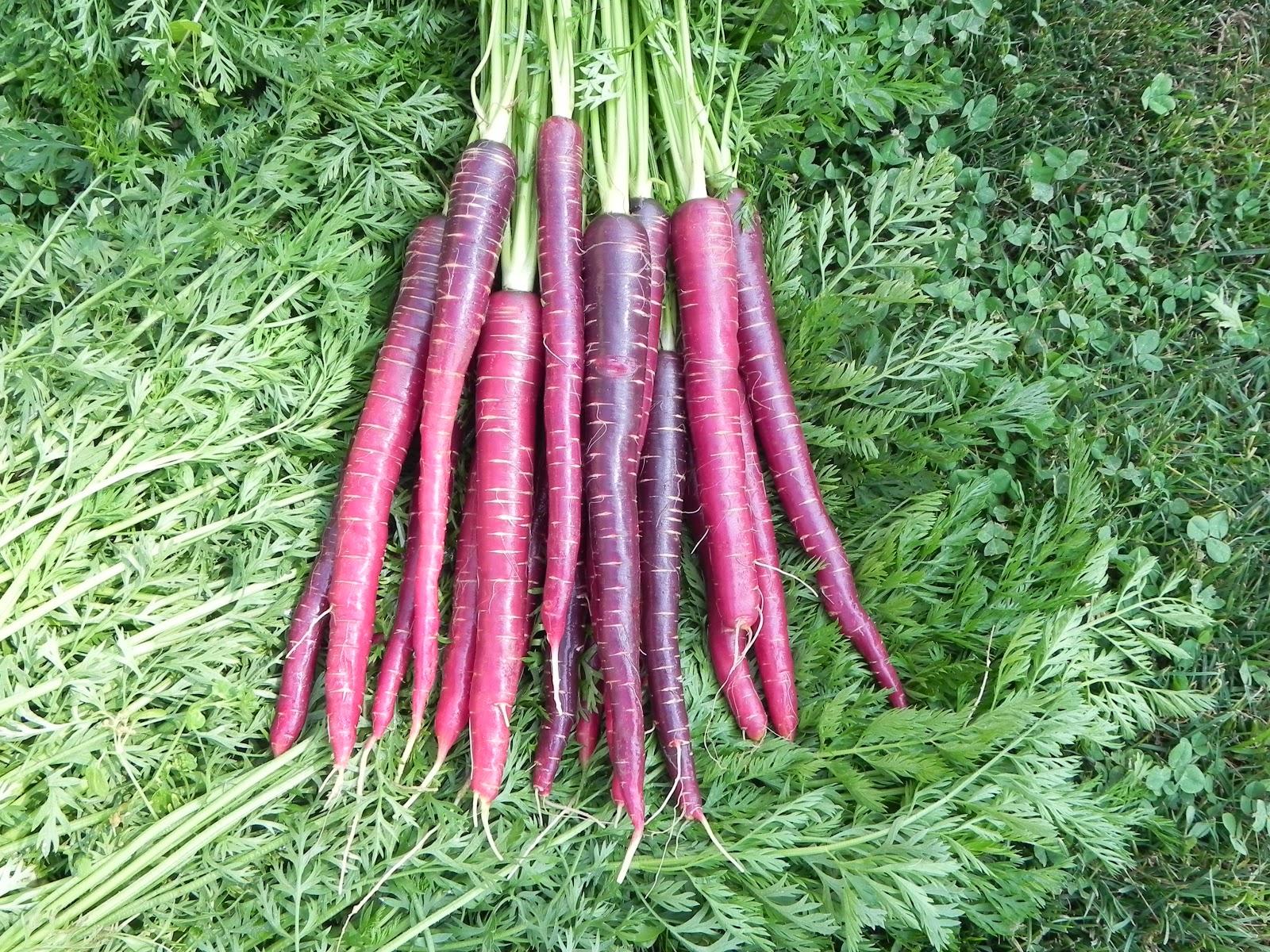 Фиолетовая морковь: полезные свойства в сравнении с другими сортами