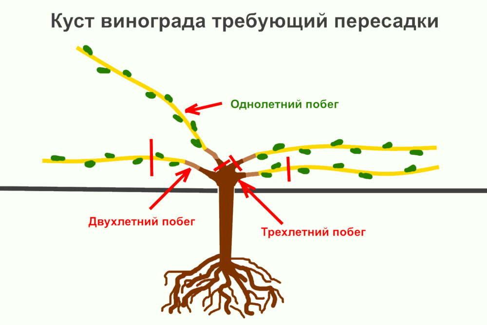 Пересадка винограда советы и фото на supersadovnik.ru