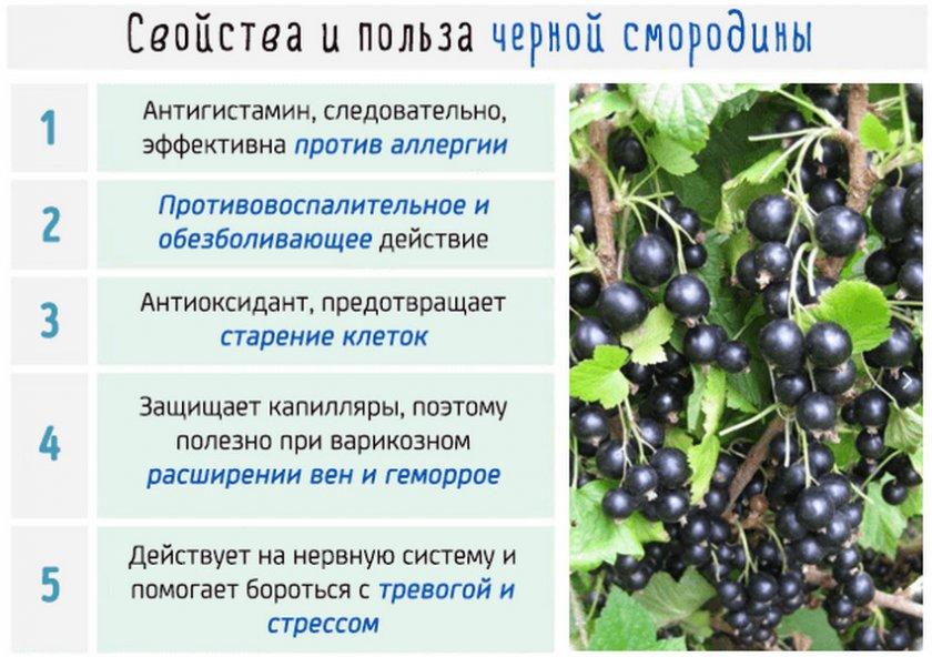 Черная смородина: польза и вред, лечебные свойства, калорийность