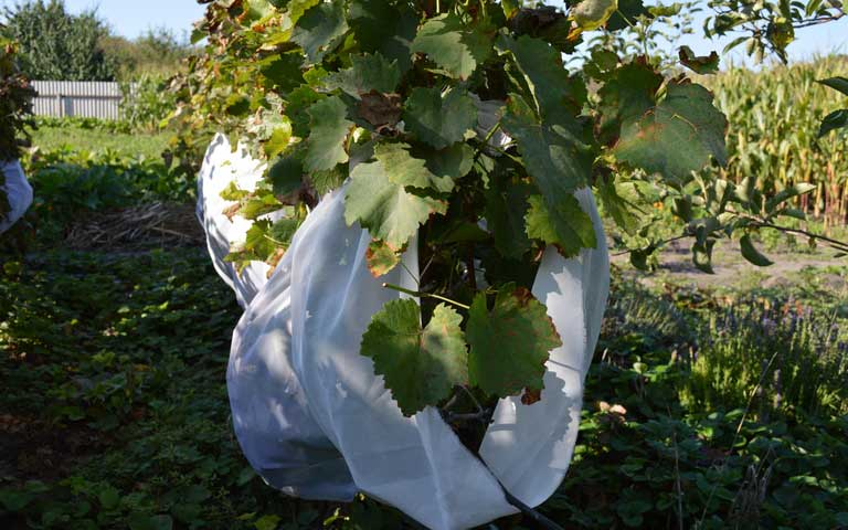 Как уберечь виноград от ос – описание эффективных методов защиты урожая