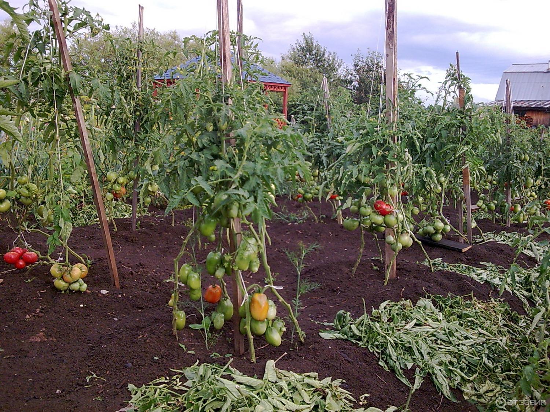 Томаты в открытом грунте в сибири: сроки посева семян в теплицы, выращивание рассады, а также, когда перемещать всходы и какие сорта помидоров лучше подойдут? русский фермер
