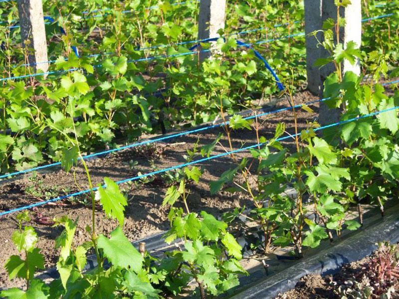 Как правильно подвязывать виноград весной