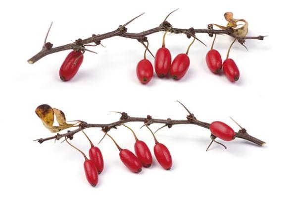 Барбарис: полезные свойства и противопоказания, корень и настойка - инструкция по применению