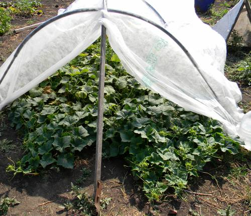 ✅ как посадить огурцы под укрывной материал: чем укрыть огурцы в открытом грунте - tehnomir32.ru