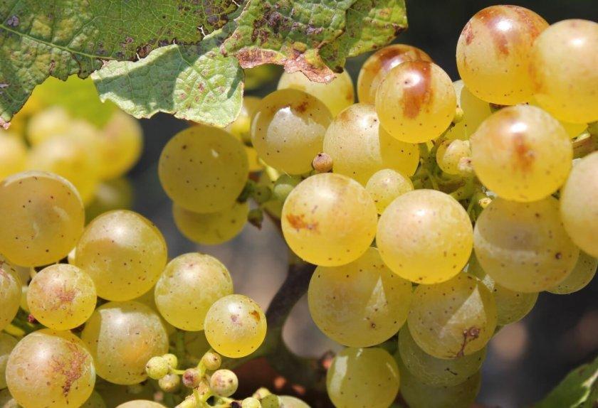 Сорт винограда рислинг: описание