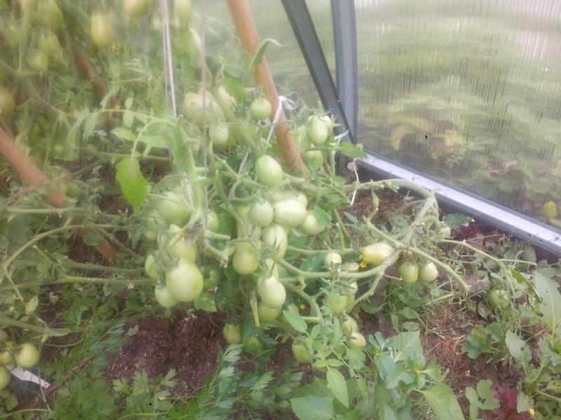 Характеристика и описание сорта томата голицын, советы по выращиванию