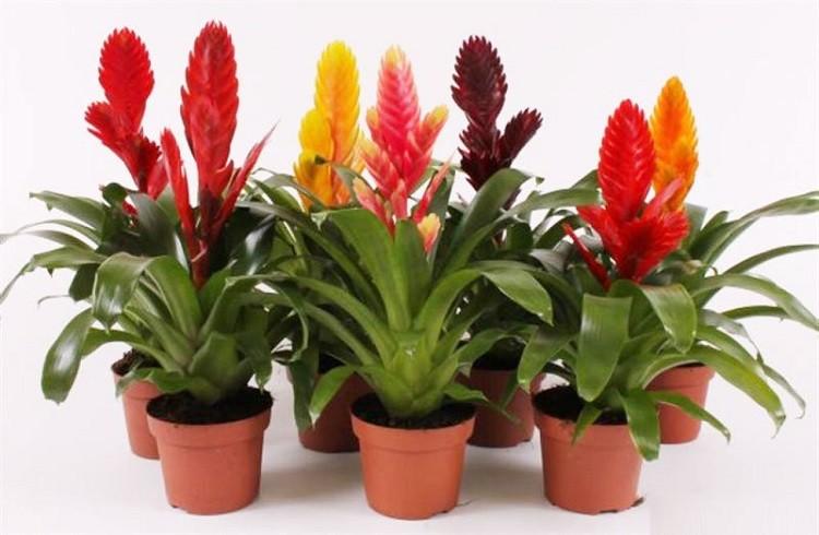 Вриезия уход в домашних условиях: как цветет, пересадка, размножение, как поливать, значение по фен шуй