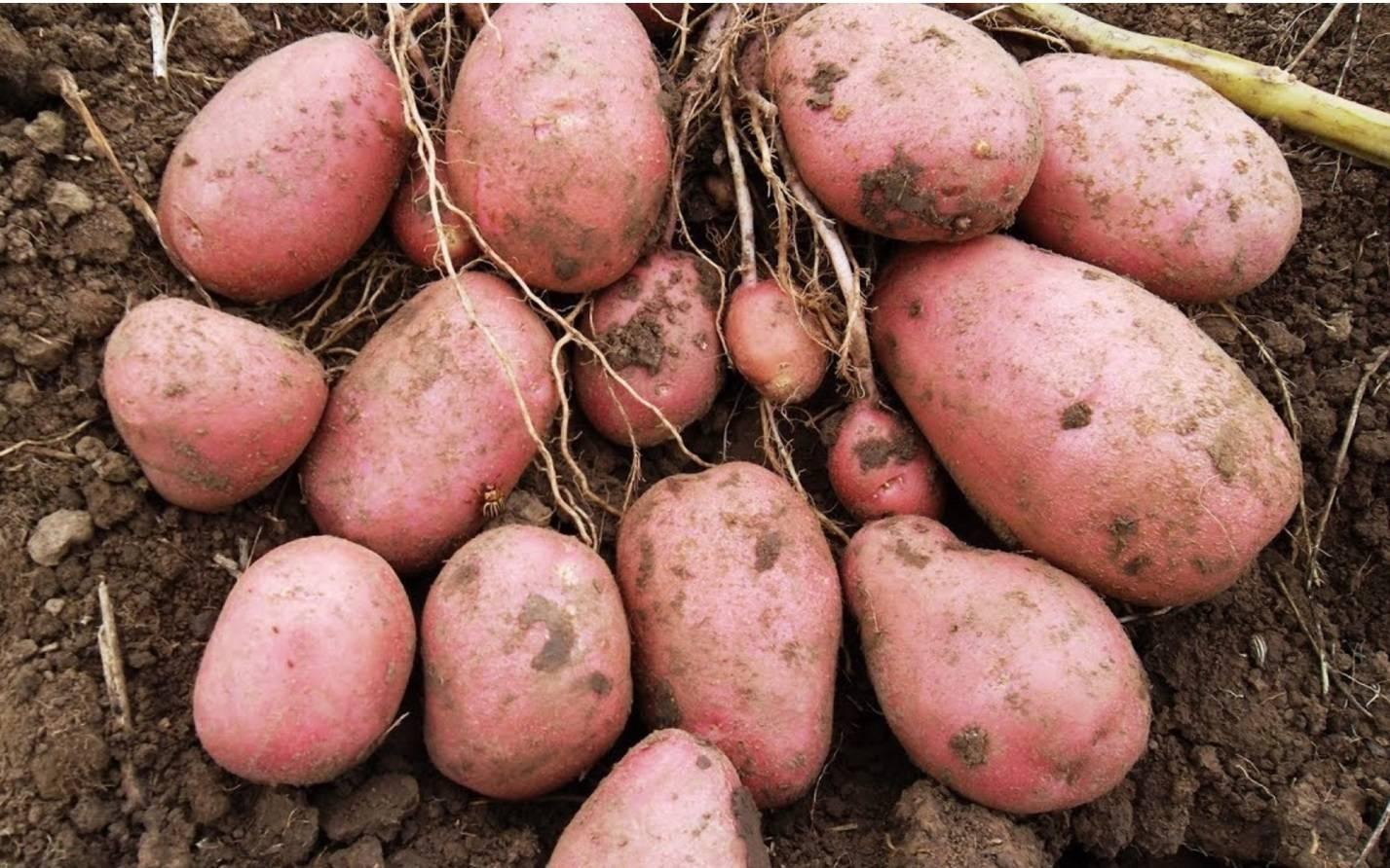 Подробная характеристика сорта картофеля журавинка. рекомендации по выращиванию и другие полезные советы