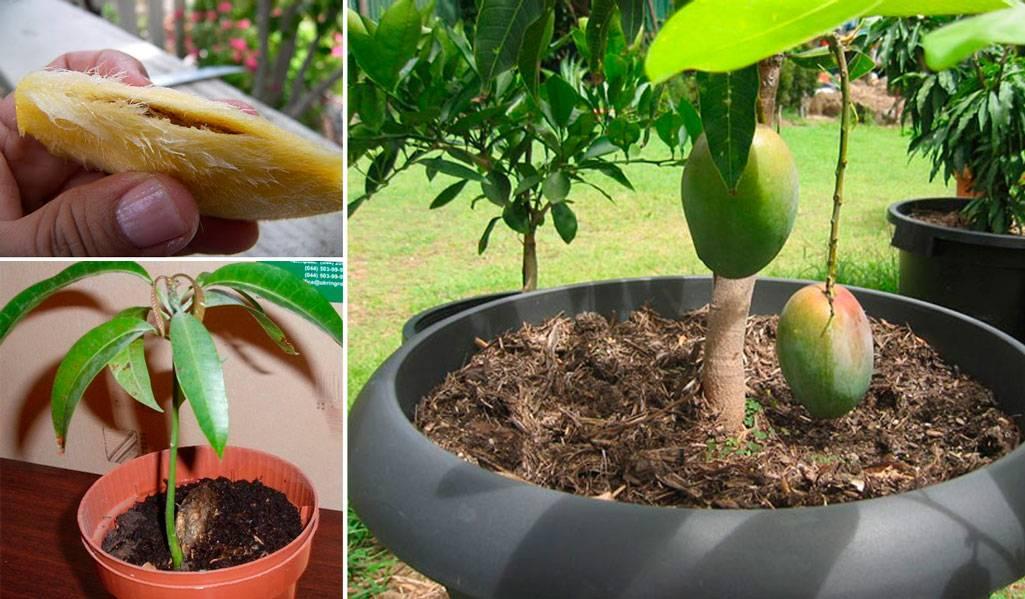 Как вырастить манго из косточки в домашних условиях | уход и особенности проращивания косточки для посадки (120 фото и видео)