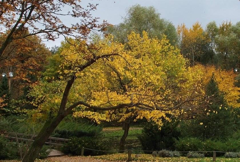 Об абрикосе маньчжурский: описание и характеристики сорта, посадка, уход