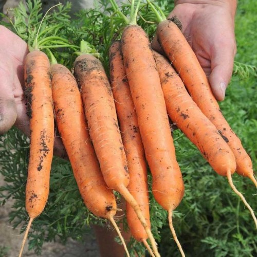 Морковь канада f1: описание сорта, фото, отзывы