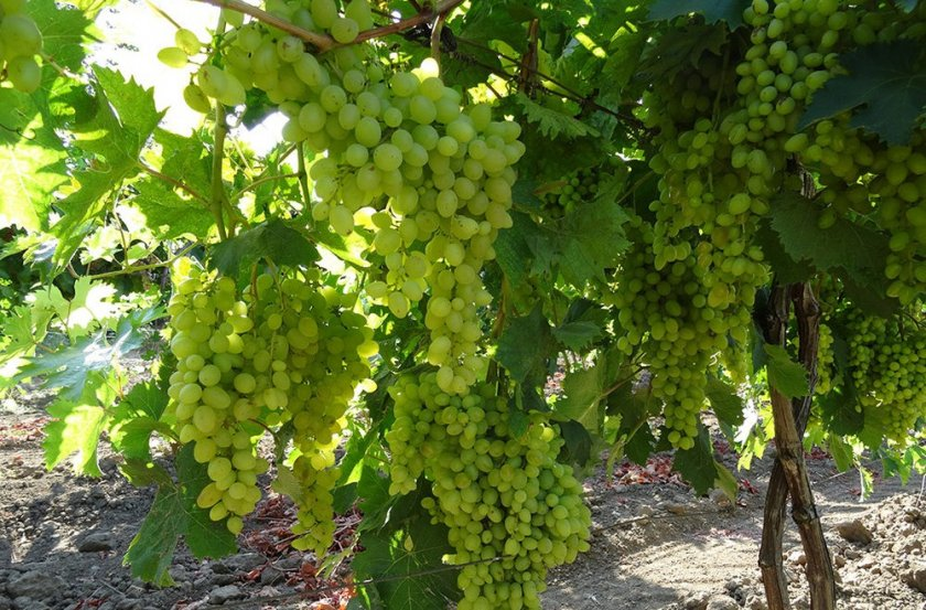 Виноград сенсация: описание сорта, фото, отзывы