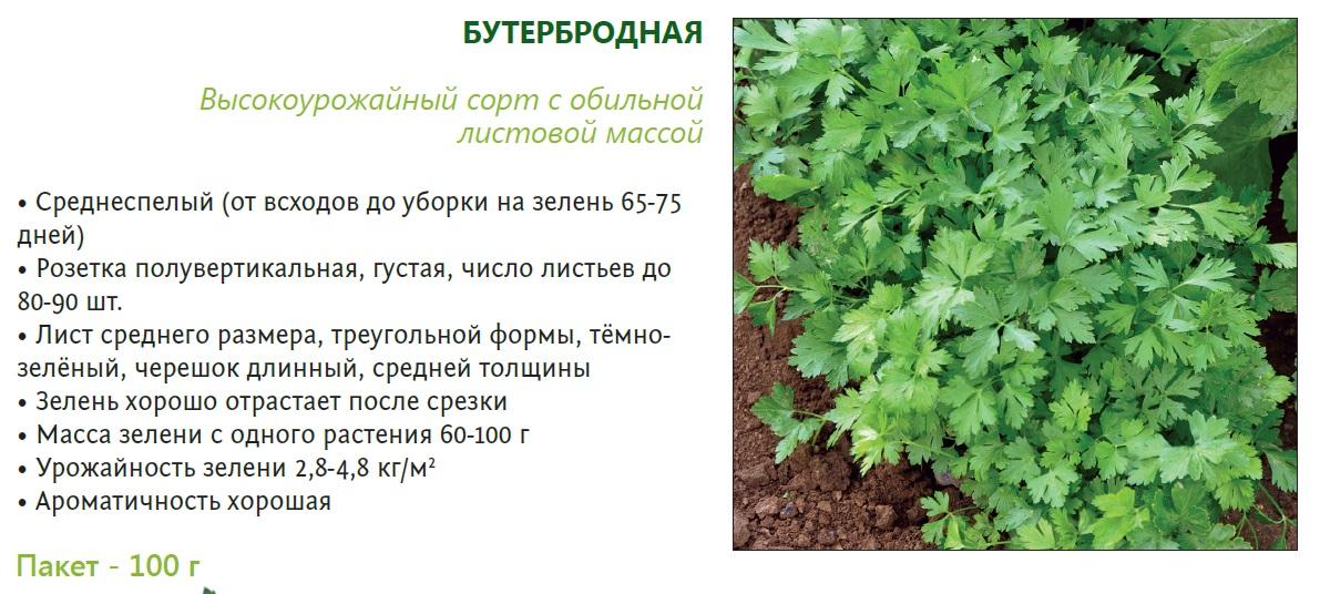 Растение петрушка: описание культуры и фото, полезные свойства, сорта для выращивания на приусадебном участке  