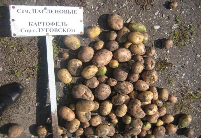 Основные сорта картофеля: их описание и характеристика