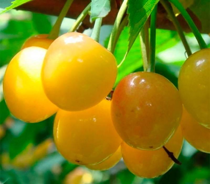 Черешня россошанская золотая: описание сорта, посадка и уход, опылители, виды