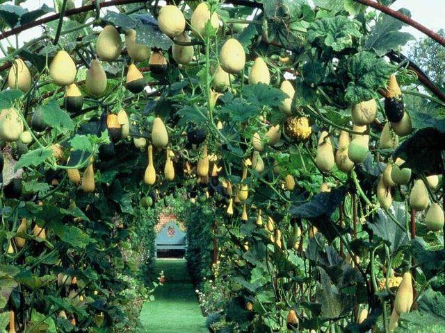 Самые сладкие сорта тыкв 2019-2020 по отзывам огородников