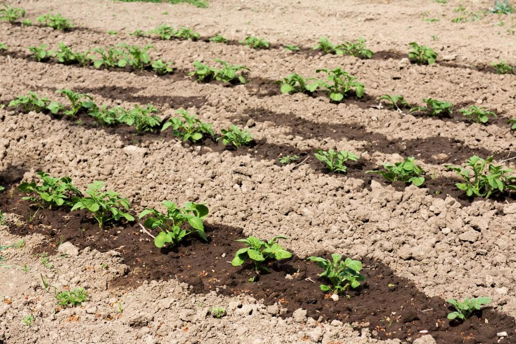 Почему плохо всходит картофель что делать. взойдет — не взойдет: через сколько дней после посадки всходит картошка и от чего зависят сроки почему картошка не всходит а клубни растут