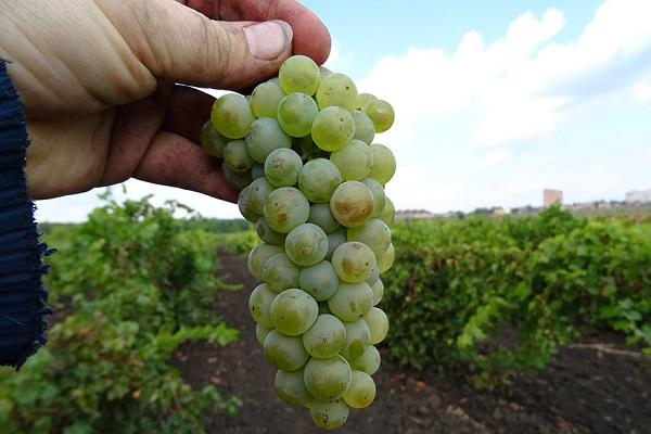 "Винограда ""рислинг"": описание сорта, фото, посадка и уход"