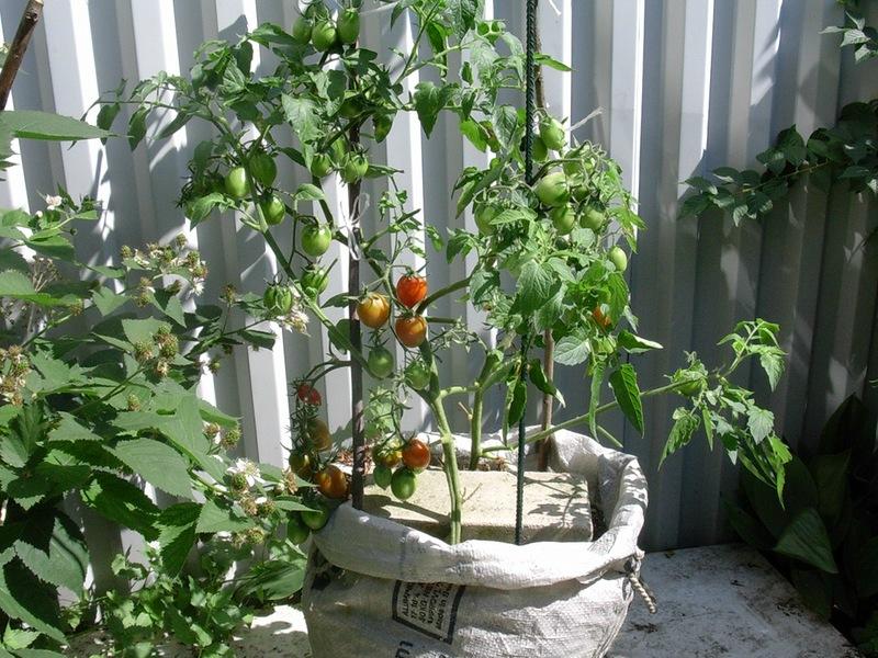 Посадка и выращивание помидоров (томатов) в теплице: лучшая технология