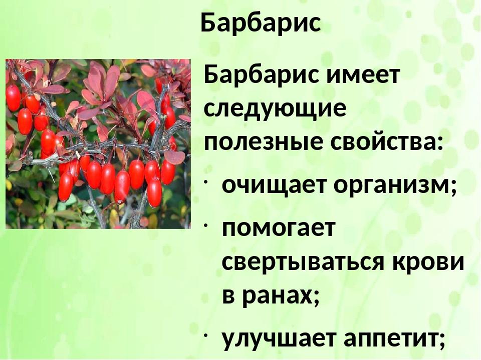 Барбарис амурский, лечебные свойства, описание, применение, противопоказания, рецепты