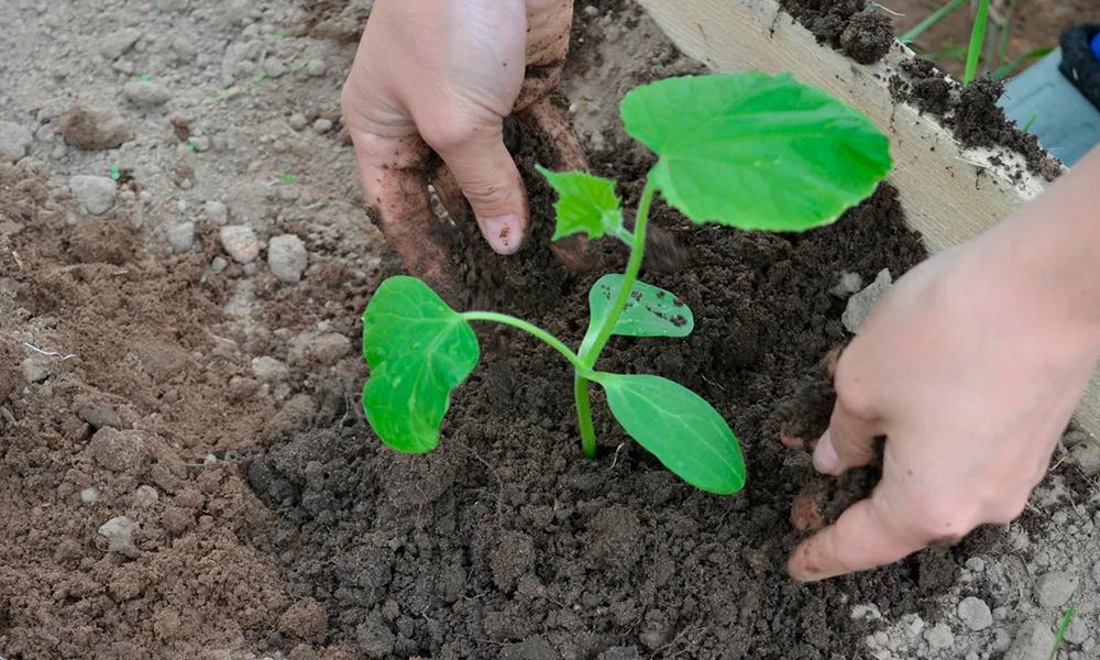 Когда сажать огурцы на рассаду: расчет сроков посева семян, подготовка перед посадкой, уход и пересадка на постоянное место русский фермер