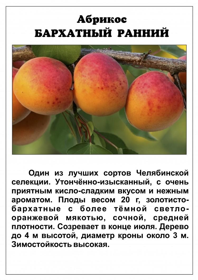 Описание абрикоса чёрный бархат