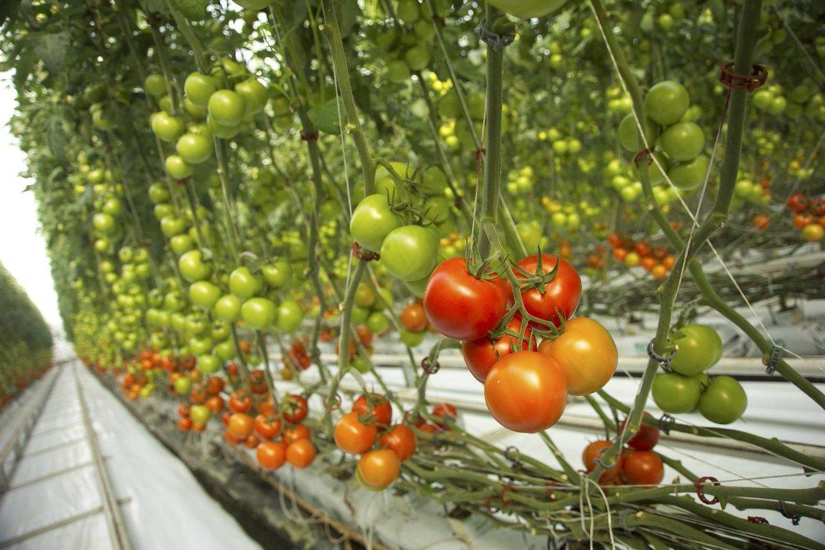 Томаты на гидропонике: процесс выращивания, семена, сорта томатов