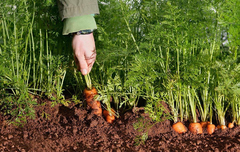 Правила ухода за морковью в открытом грунте, чтобы был хороший урожай