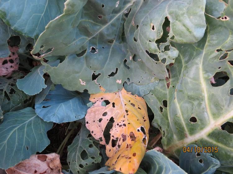 Гусеницы на капусте народные средства (10 полезных советов)