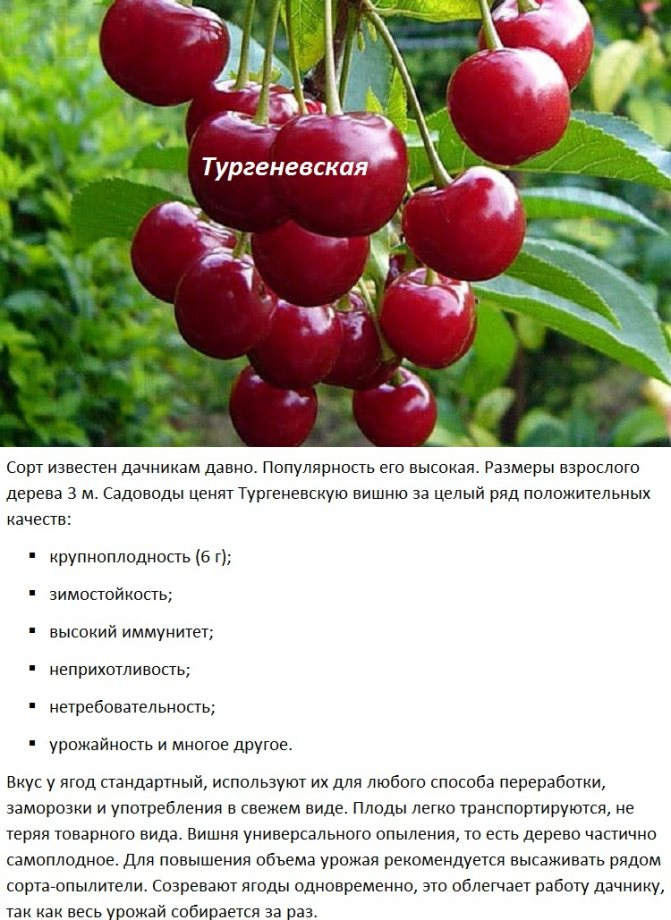 Вишня тургеневская: описание сорта, фото, отзывы