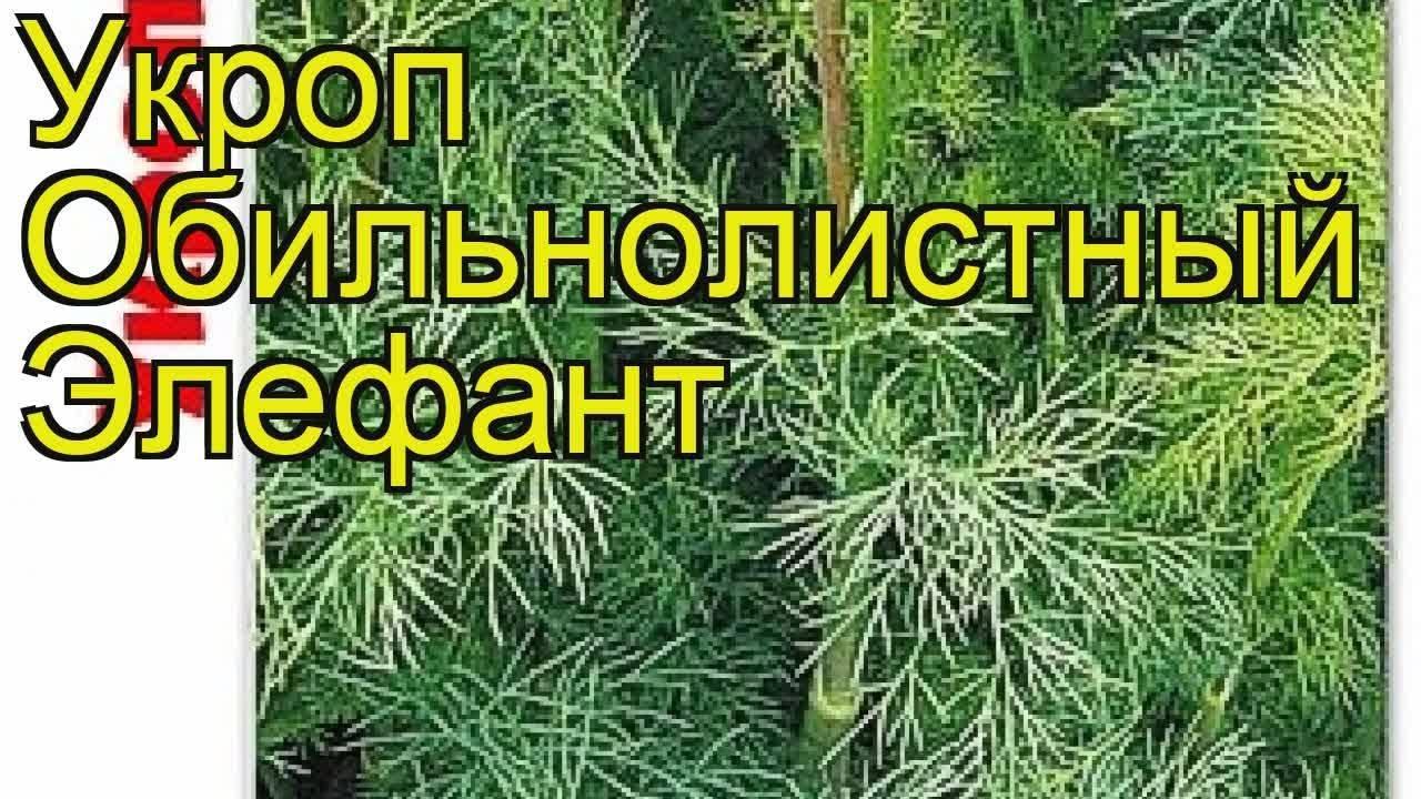 Укроп: особенности посадки и выращивания