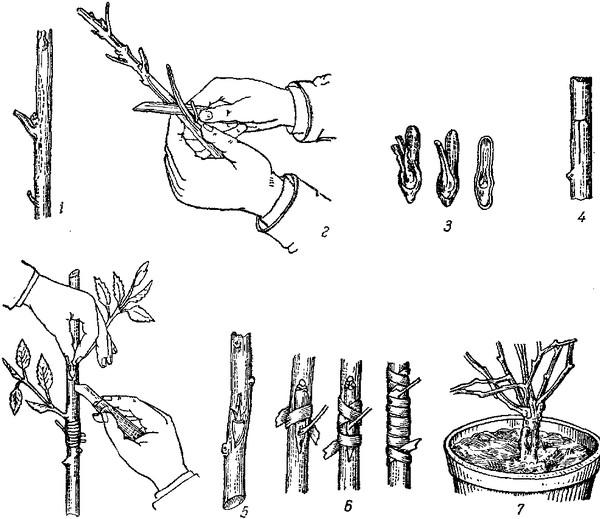 Как размножить вишню: основные способы и дальнейший уход