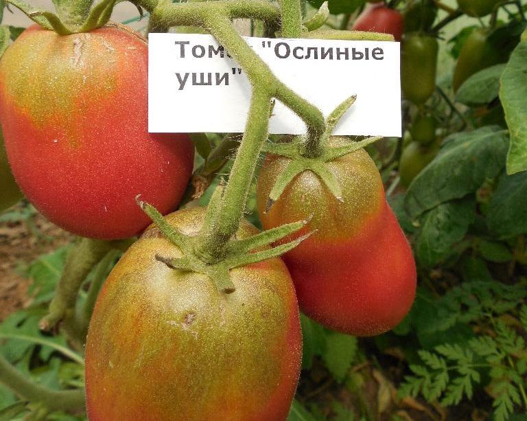 Томат ослиные уши: отзывы, фото, урожайность, описание и характеристика | tomatland.ru