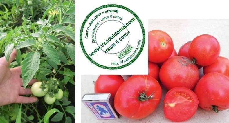 Томат яблоки на снегу — описание сорта, отзывы, фото, урожайность