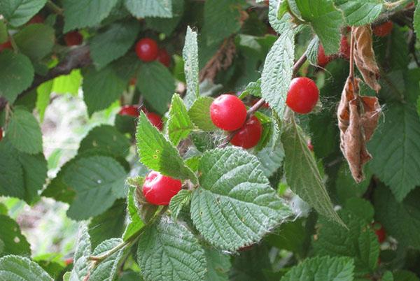Болезни вишни: описание с фотографиями и способы лечения - огород, сад, балкон - медиаплатформа миртесен