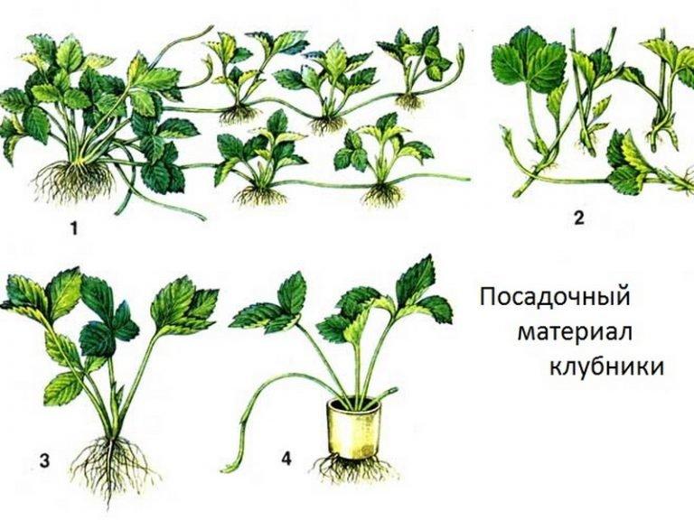 Описание сорта клубники альбион с фото и видео: характеристика, преимущества и недостатки, выращивание из семян и уход